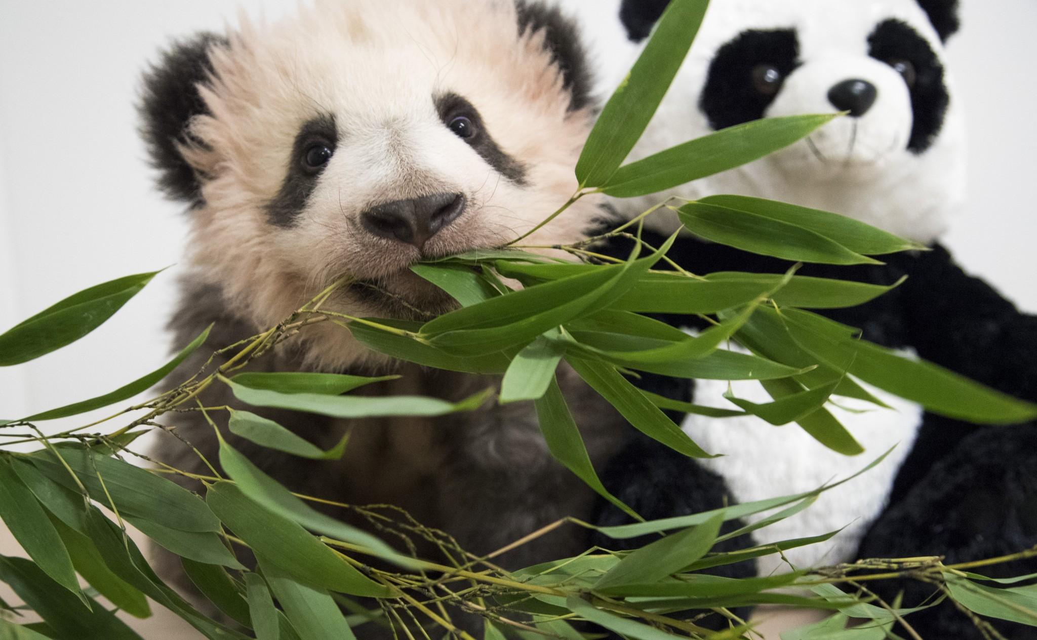 bebe-panda