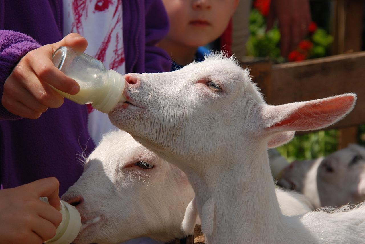 goat-1465364_1280